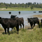 Great Plains Grazing will host a free webinar Feb. 19, 2019 on cattle water intake. (Courtesy of K-State Research and Extension)