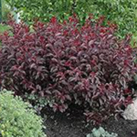 Purpleleaf Sandcherry or Cistena Plum- Prunus x cistena- a medium sized shrub (6'x6') with white to pink flowers that emerge with the foliage in spring. (Courtesy of CO-Horts Blog)