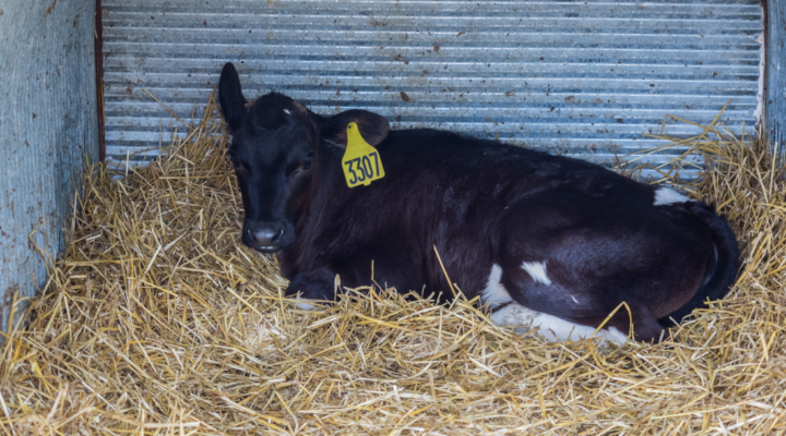 Cold weather dairy calf care