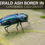 Emerald ash borer has been confirmed for the first time in Cass County. (Courtesy of ISU Extension and Outreach)