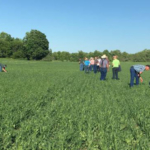 Twenty-two entries donated by seed dealers in the northern Michigan were planted in Chatham on May 8, 2018 (Table 1). (Photo by Monica Jean, MSU Extension)