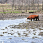 Wet years are tough on cattle and cattle producers. Photo: Getty Images