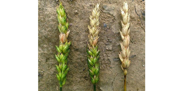Fusarium head scab symptoms on a single spikelet (left), half of head (middle) and entire head (right). (Photo by Martin Nagelkirk, MSU Extension)