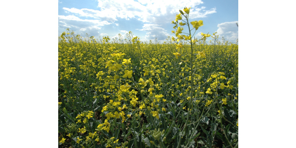 Extension offers canola production information