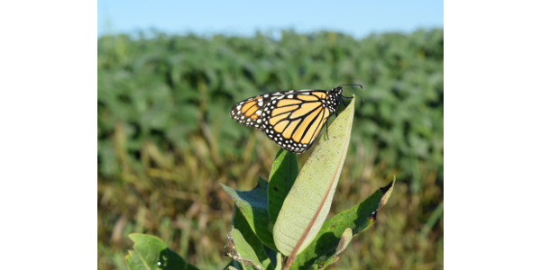 Monarch on common milkweed plant. (Photo by Iowa Monarch Conservation Consortium)
