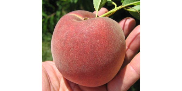 The 2019 Michigan Spring Peach Meeting, hosted by Michigan State University Extension and the Michigan Peach Sponsors, is the best annual meeting in Michigan and the region to learn about all the aspects of peaches and peach growing. (All photos by Bill Shane, MSU Extension)