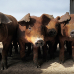 A new study published by a Kansas State University researcher and her team looks at how the current outbreak of African swine fever in China and Europe could be spreading through feed and feed ingredients. (Courtesy of Kansas State University)