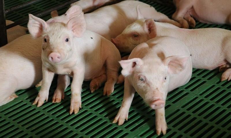Pork Checkoff debuts Swine University