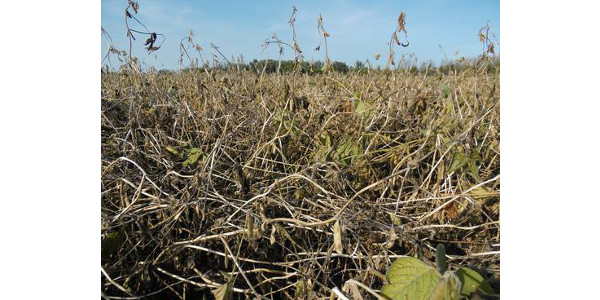 Severe soybean white mold infestation. (Photo by Mike Staton, MSU Extension)