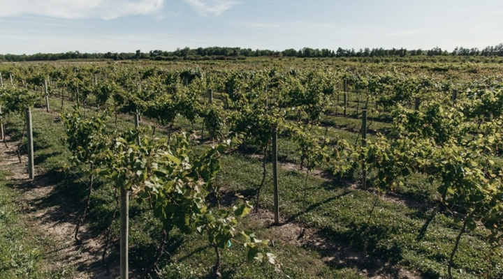 A new 'epicenter of grape research' in NYS