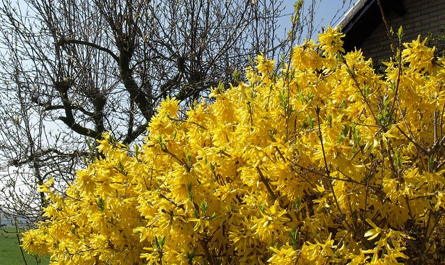 Keep flowering shrubs blossoming for years