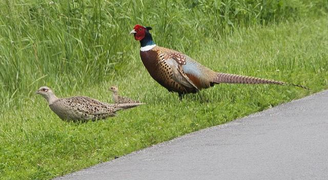 Pheasant chick ordering program