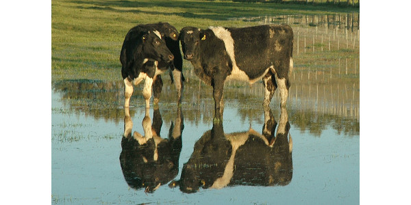 cows in flood