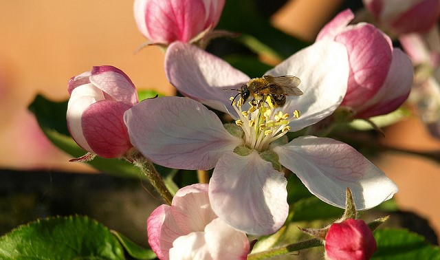 Diverse bee communities best for apple orchards