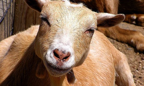 goat (liz west, Flickr/Creative Commons)