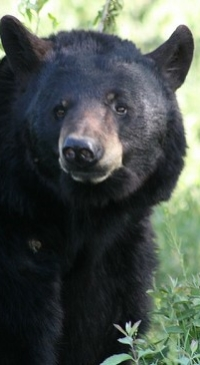 CT bear hunt bill scaled back to help just farmers