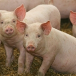 pigs (K-State Research and Extension, Flickr/Creative Commons)
