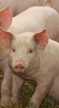Pork slaughter rules give companies more food safety tasks