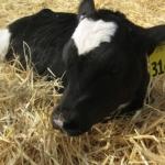 dairy calf (Aldon Hynes, Flickr/Creative Commons)