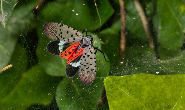 SLF-spotted lanternfly (Lycorma delicatula) adult winged. (U.S. Department of Agriculture, Public Domain)