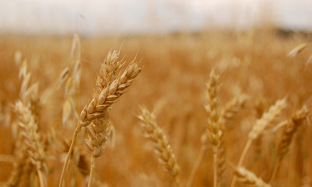 wheat (jayneandd, Flickr/Creative Commons)