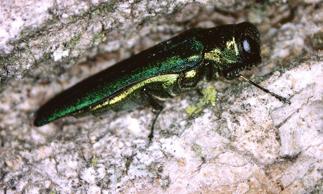 How tree diversity affects invasive forest pests