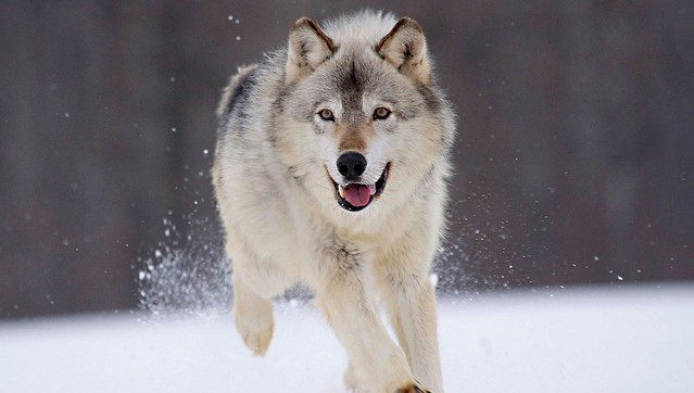 U.S. plans end to wolf protections