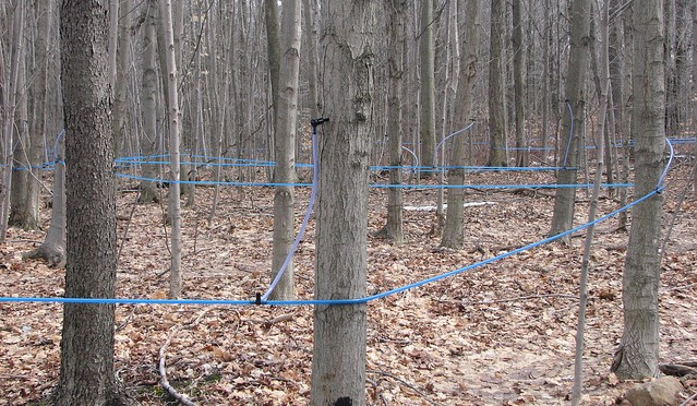 UMaine offers resources for maple sugaring season