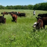 pasture cattle (U.S. Department of Agriculture, Public Domain)