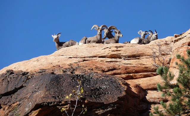 Disease may be killing Calif. desert bighorn sheep