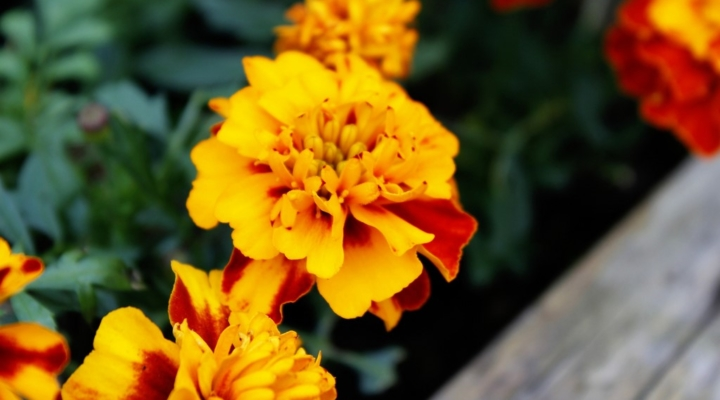 How The Humble Marigold Outsmarts Pests Morning Ag Clips