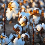 cotton (Kimberly Vardeman, Flickr/Creative Commons)