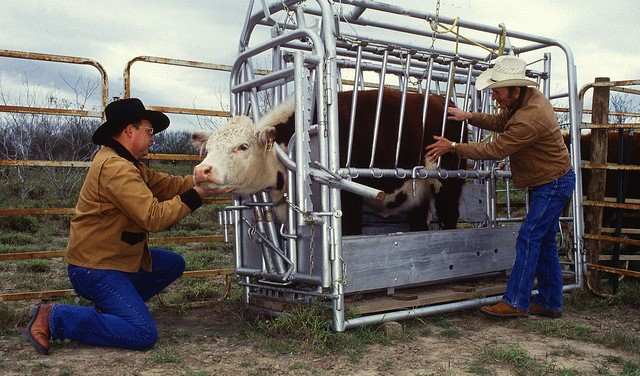 cattle fever tick animal health (U.S. Department of Agriculture, Flickr/Creative Commons)
