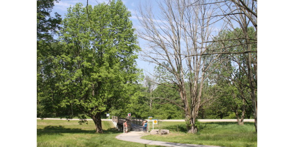 Left: Thriving ash tree that is regularly treated with insecticide. Right: Dead ash tree that was not protected from emerald ash borer with insecticide. (photo by Cliff Sadof, Purdue University)
