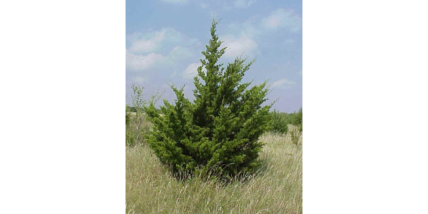 Red cedars can be managed to protect grasslands and pastures while still leaving stands for wildlife. (Courtesy of University of Minnesota Extension)