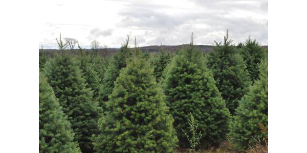 Christmas tree pest management guides