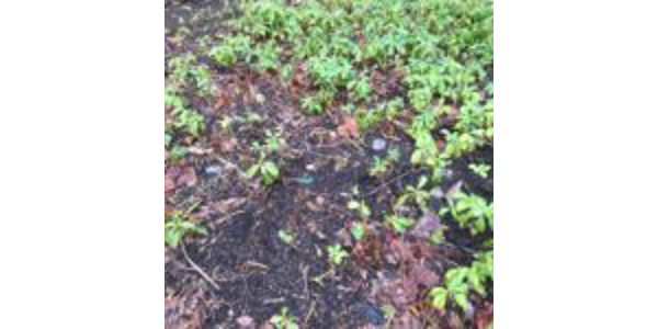 Fig 1. Large areas of Pachysandra ground cover killed by Volutella (PPDL). (Courtesy of Purdue University)