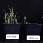 Sorghum plants treated with safeners and/or herbicides. (Photo by You Soon Baek)