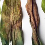Corn leaves showing symptoms of tar spot (center two). (Courtesy of University of Illinois)
