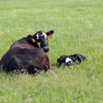 Grass tetany occurs when circulating Magnesium is low in the beef animal. (Photo credit Troy Walz)