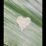 Figure 1. Western bean cutworm eggs (Photo by Jen Bruggeman (@JenniferBruggem) )
