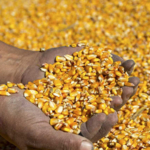 Farmer's hands holding harvested grain corn. (RGtimeline/stock.adobe.com)