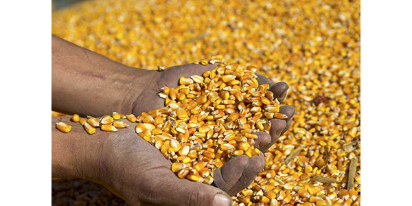 Farmer's hands holding harvested grain corn. (RGtimeline/stock.adobe.com)