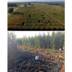 Photo 1. Top, wildlife damage in a corn hybrid trial captured with an unmanned aerial vehicle (UAV) in mid-September of 2018. Note the visual differences in damage between plots/hybrids. Bottom, several plots were 100 percent damaged and unharvestable. (Photo by Monica Jean, MSU Extension)