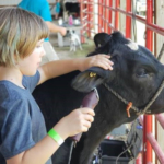 Teagan Hardy of Steelville clips her heifer at 2018 dairy cow camp. (Photo credit: University of Missouri Extension)
