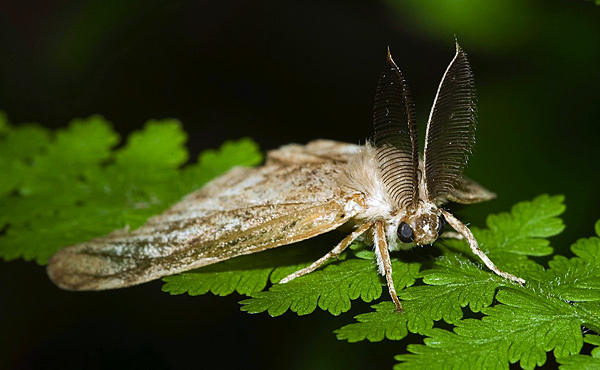 Maine proposes quarantine to stop gypsy moth