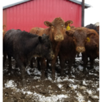Wet, muddy ground likely will be a big challenge for cattle producers this spring. (NDSU photo)