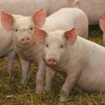K-State's swine nutrition team has updated its popular Swine Nutrition Guide. (Courtesy of K-State Research and Extension)