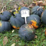 Squash was among 200-plus plants considered. (Courtesy of University of Minnesota Extension)