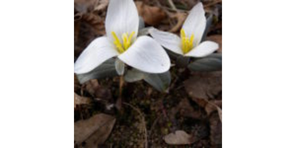 Snow trillium. (Courtesy of Purdue University)